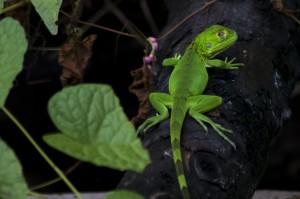 Un iguane juvénile